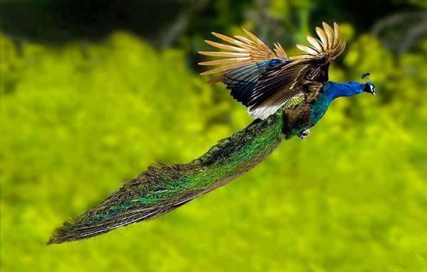 Beautiful Peacock Pictures (32)