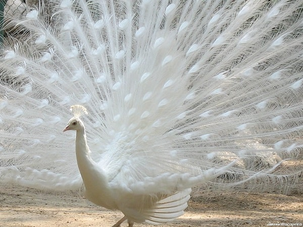 Beautiful Peacock Pictures (35)