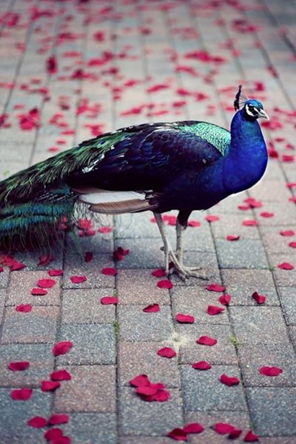 Beautiful Peacock Pictures (6)