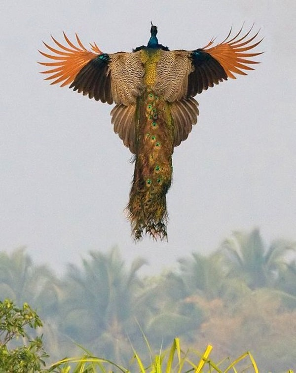 Beautiful Peacock Pictures (7)