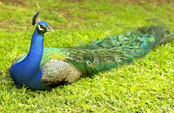Beautiful Peacock Pictures (8)