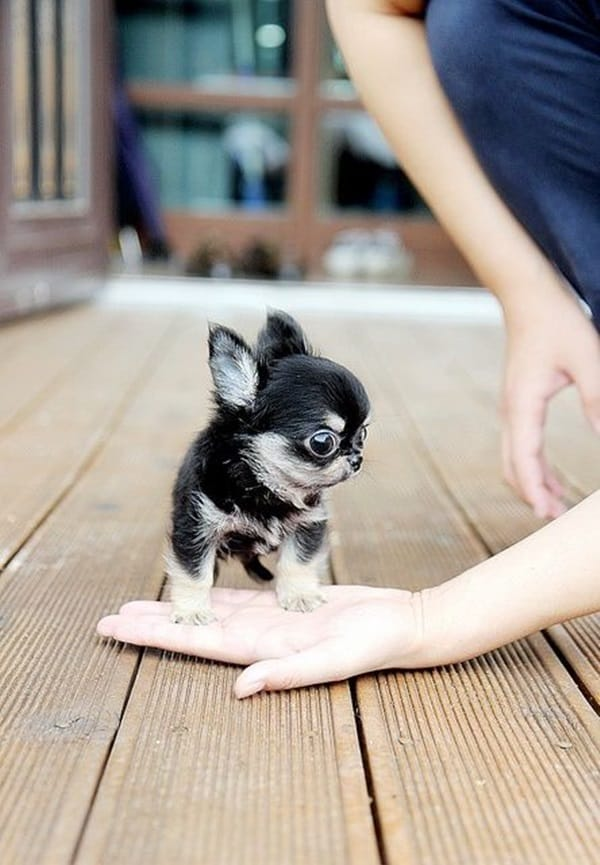 Cute Pictures Of Tiny Puppies (6)