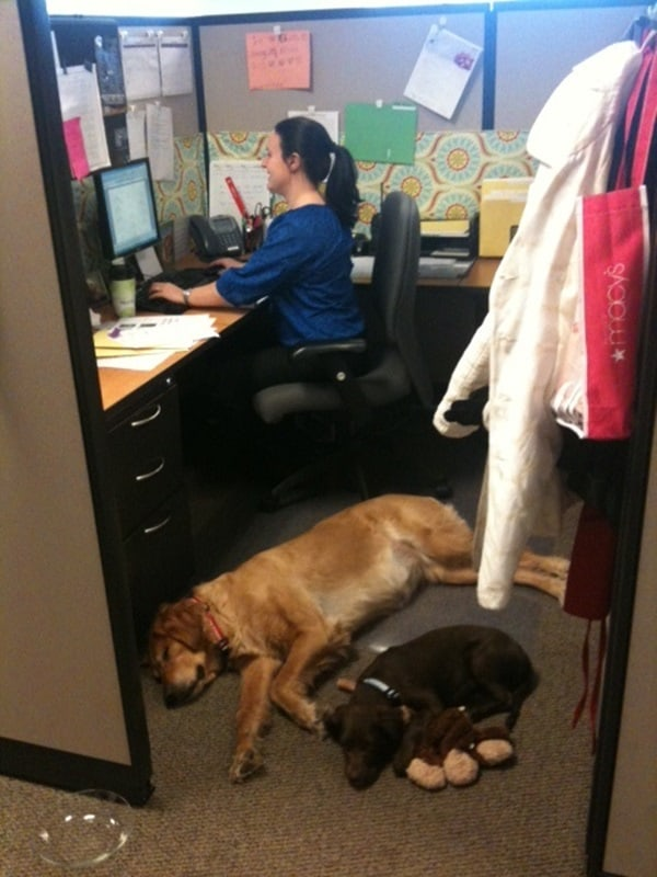 Cute Pictures of Pets Joining You at Work (19)