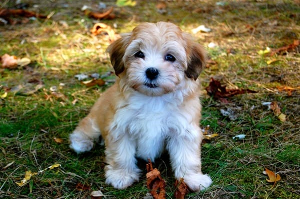 Know about some Dwarf Dog Breeds around the World10