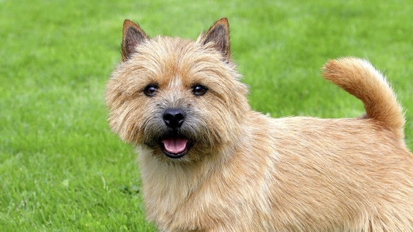 Know about some Dwarf Dog Breeds around the World2