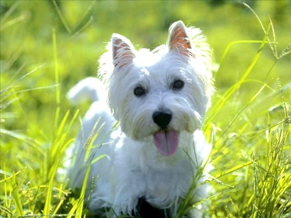 Know about some Dwarf Dog Breeds around the World3