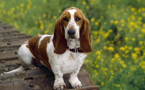 Know about some Dwarf Dog Breeds around the World4