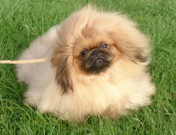 Know about some Dwarf Dog Breeds around the World9