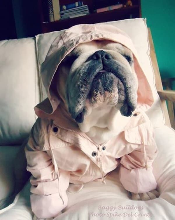 Pictures Of Pets Wearing Clothes (8)