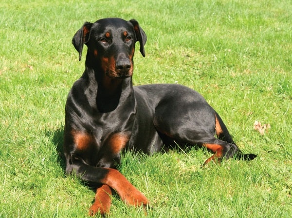 5 Best personal Protection Dog Breeds 3