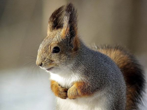 Beautiful Pictures of Squirrel (51)