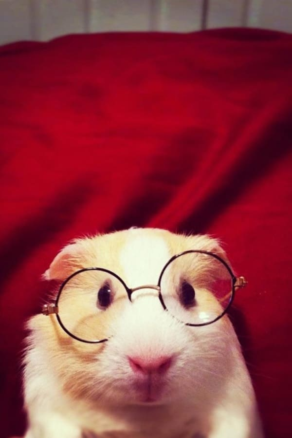 Cute Pictures of Animals Wearing Glasses  (29)