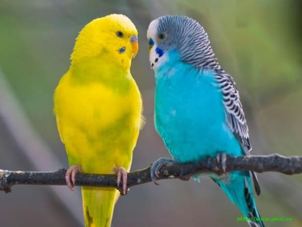 Types of Pet Parrots1