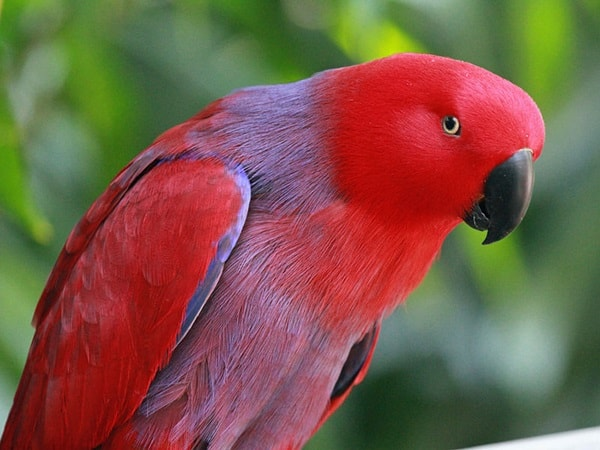 Types of Pet Parrots16