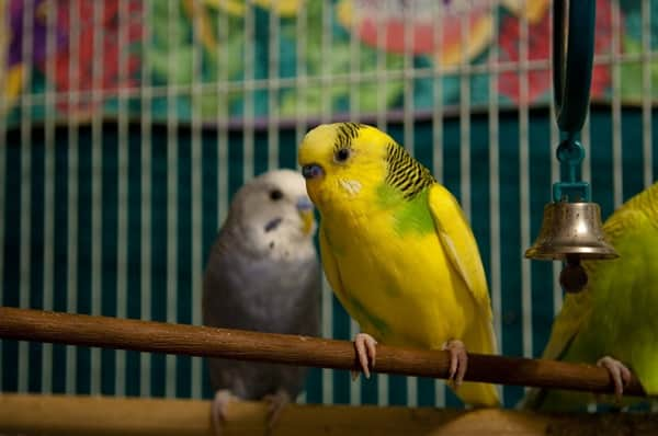 Types of Pet Parrots3