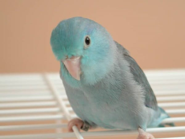 Types of Pet Parrots4