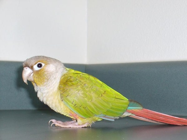 Types of Pet Parrots6