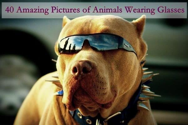 tough-pitbull-wearing-sunglasses