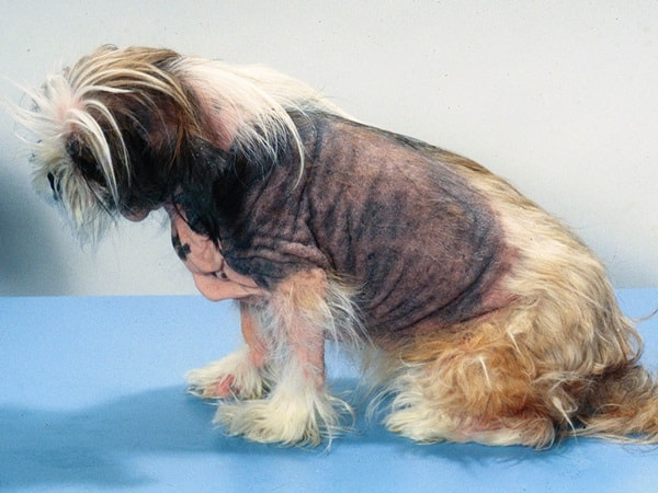 10 Not to Ignore Reasons for Dog Hair Loss 1