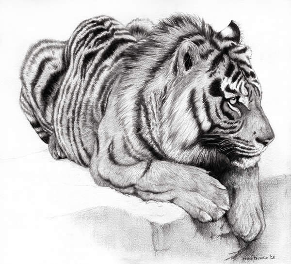 animal sketches drawings animals realistic pencil pussy sketch tiger cat inspiration drawing cute dog draw deviantart ssink sketching wildlife cats