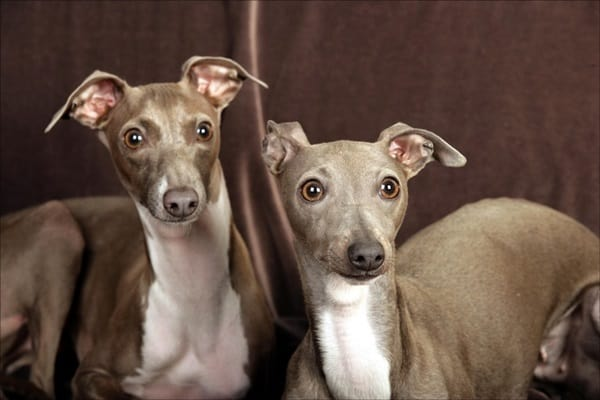 Amazing Dog Breeds from Mediterranean Countries (1)
