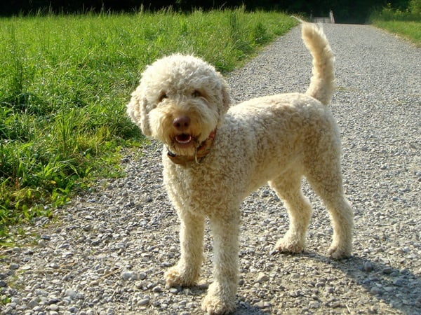 Amazing Dog Breeds from Mediterranean Countries (7)