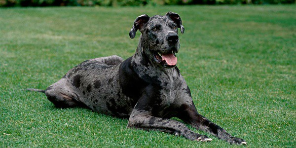 pictures-of-great-dane-1