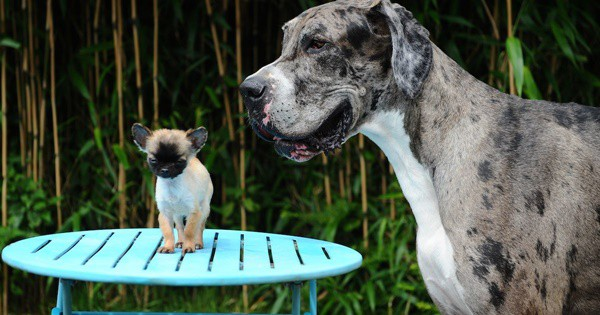 pictures-of-great-dane-2