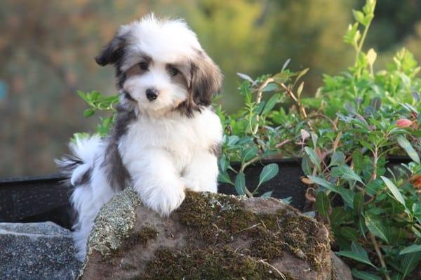 The 10 Best Lap Dog Breeds 1