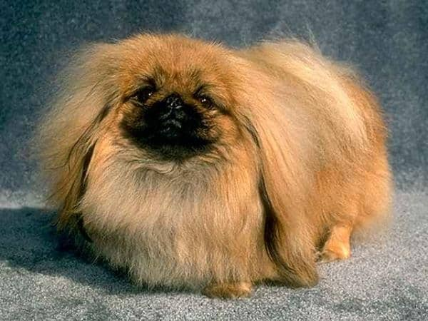 The 10 Best Lap Dog Breeds 3
