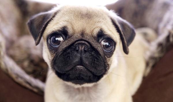 The 10 Best Lap Dog Breeds 4