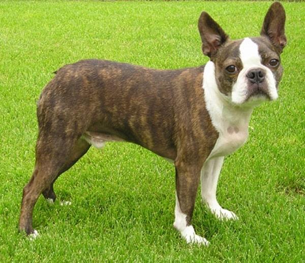 The 10 Best Lap Dog Breeds 5