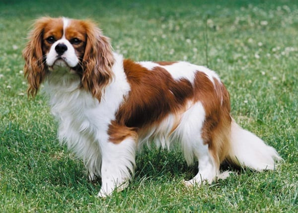 The 10 Best Lap Dog Breeds 6