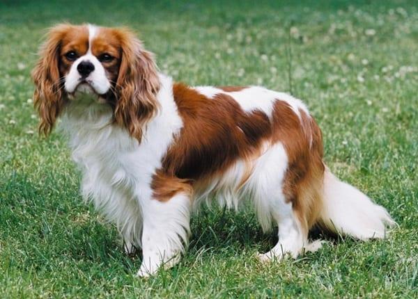 The 10 Best Lap Dog Breeds 6