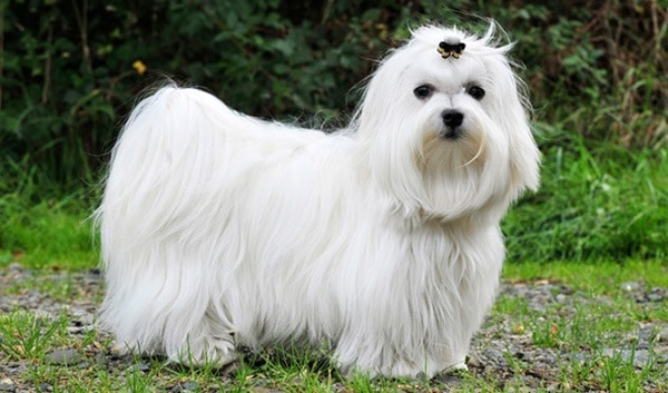 The 10 Best Lap Dog Breeds 7