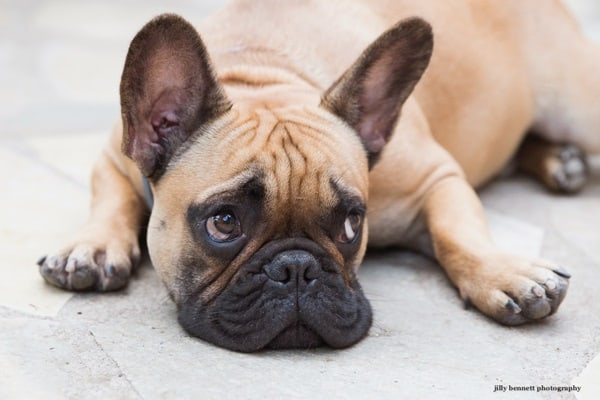 The 10 Best Lap Dog Breeds 8