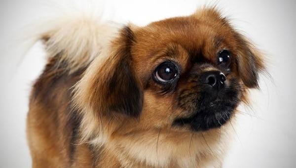 The 10 Best Lap Dog Breeds 9