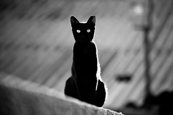 Black Cat Pictures (16)