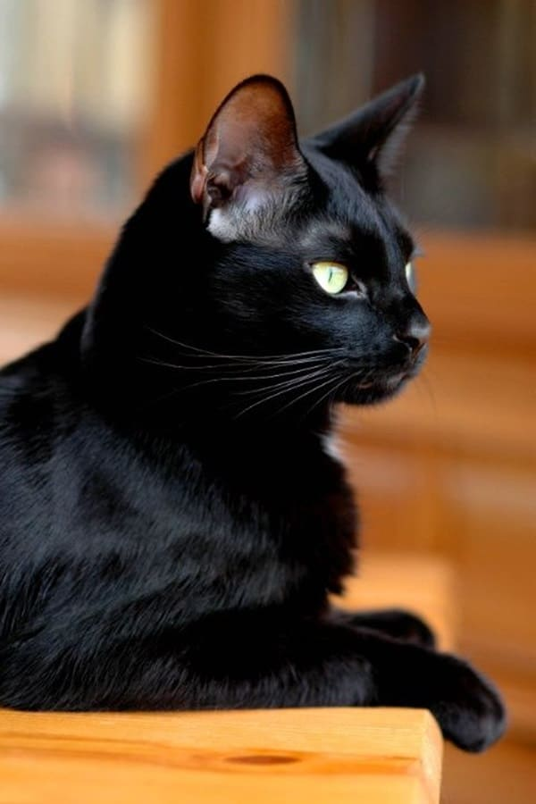 Black Cat Pictures (30)