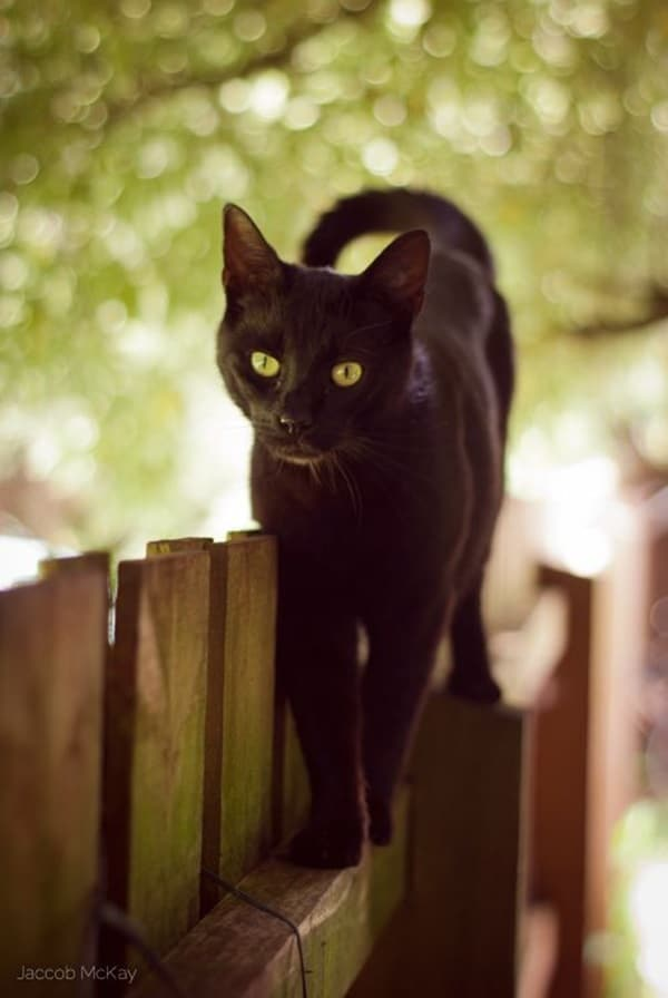 Black Cat Pictures (5)