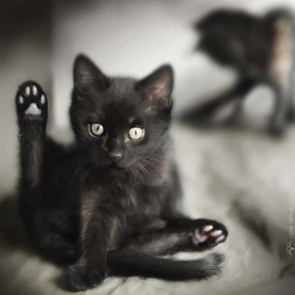 40 Beautiful Pictures Of Black Cats