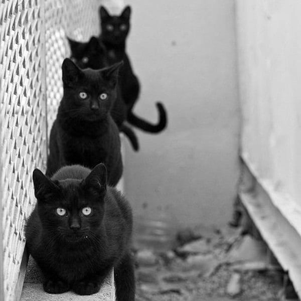 Black Cat Pictures (9)
