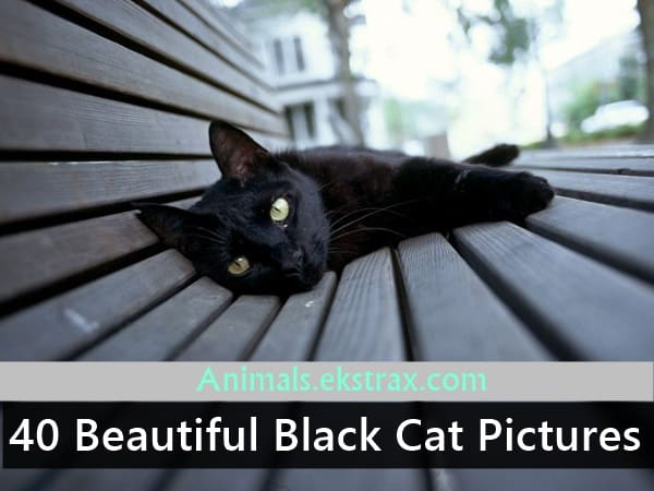 black cat picture