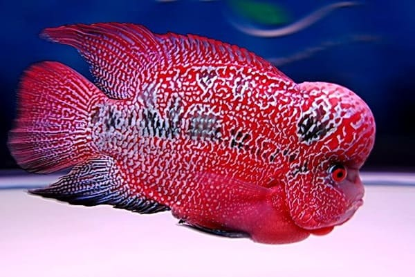 10 Most Colorful Fresh Water Fish 5