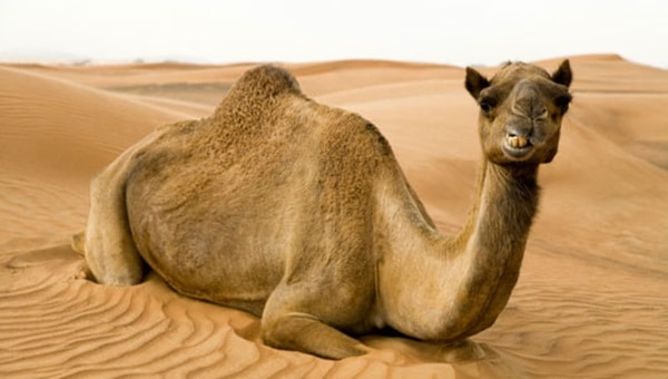 20 Beautiful Camel Pictures 1