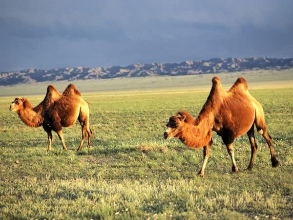 20 Beautiful Camel Pictures 11