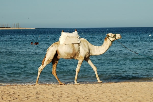 20 Beautiful Camel Pictures 12