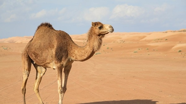 20 Beautiful Camel Pictures 14