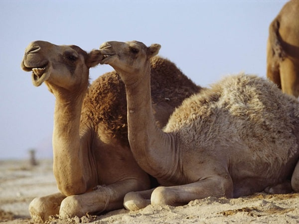 20 Beautiful Camel Pictures 15