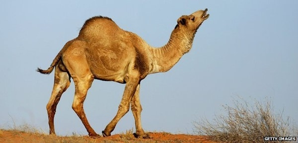 20 Beautiful Camel Pictures 17